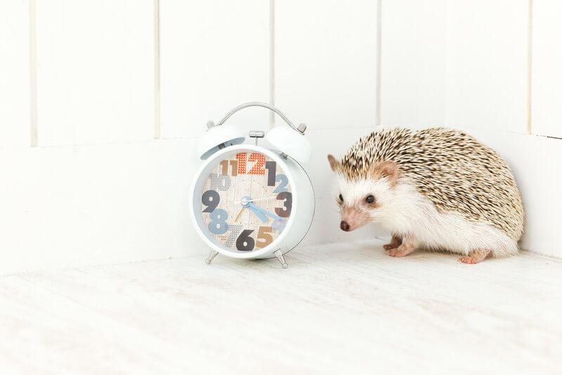 ハリネズミと時計が並んでいる画像